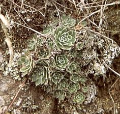 Aeonium ciliatrum