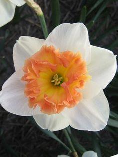 Daffodil Precocious available at LivingGardens.com