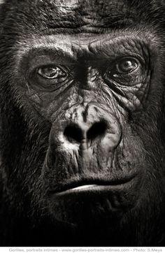 © Gorilles Portraits intimes de F.Perroux & S.Meys, Editions Le Pommier 2012