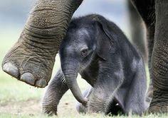éléphant | Eléphants : Population et menaces - Plat du Jour et idées pour les ...