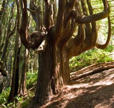 You're closer to discovering our remote Shady Dell forest, home of the candelabra-shaped redwoods. Mendocino County just approved a permit for construction of the 2.2-mile trail! Construction is tentatively scheduled for completion in early 2016.