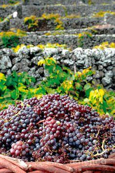 grape harvest, vineyards, Santa Maria Island, Azores Islands, Portugal