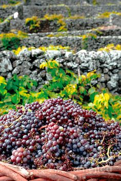 grape harvest, vineyards, Santa Maria Island, Azores Islands, Portugal
