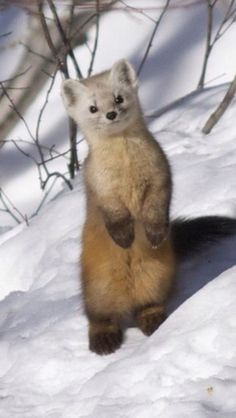 Pine marten. A very vicious type of weasel.. :( but soooo adorable:)
