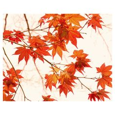 Autumn photography, orange artwork, botanical fall art print 11x14,... (19 CAD) ❤ liked on Polyvore featuring home, home decor, wall art, mod home decor, modern home decor, white home accessories, orange home decor and branches home decor
