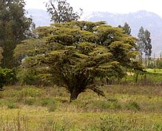 "#Ecuador #travel #photo - The Tree of ""life & past"