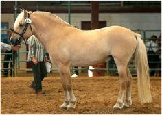 Norwegian Fjord - stallion OH Wynn