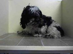 SUPER URGENT 2/8/14 Brooklyn Center   HOWARD - A0991284  MALE, BLACK / WHITE, SHIH TZU MIX, 10 yrs STRAY - STRAY WAIT, NO HOLD Reason STRAY  Intake condition NONE Intake Date 02/08/2014, From NY 11412, DueOut Date 02/11/2014,  https://www.facebook.com/photo.php?fbid=754760474536834&set=a.617942388218644.1073741870.152876678058553&type=3&theater