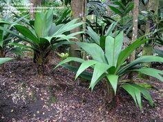 Colony of perfect plants in private garden, Hawaii. Pata De Gallo
