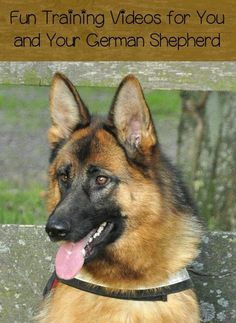 On the hunt for some fun training videos for you and your German Shepherd? We've got them right here! Check out these fun videos.
