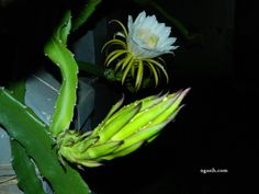 Dragon Fruit Flower Stages, It's Beautiful !  2