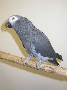 African Grey - Timneh Timneh African Grey, African Grey Parrot, Exotic Birds, Parrots, Bird Feathers, Raising, Friends, Animals, Photos