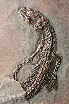 Fossil of a venomous lizard, ancient relative of the Gila monster Rocks And Gems, Rocks And Minerals, Reptiles And Amphibians, Mammals, Gila Monster, Dinosaur Fossils, Extinct Animals, Prehistoric Creatures, Archaeology