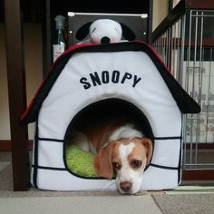 Amazing Snoopy Beagle Beagle Adorable Dog - 6c826a4a429f1c54b2a104dbbe8281b0--beagle-puppies-beagles  Gallery_80165  .jpg