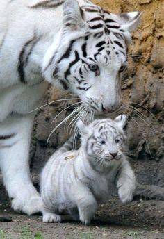White tiger & cub #BigCatFamily