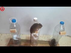 15 Greatest Plastic bottles mouse trap/15 Best idea mouse trap from plastic bottles - YouTube Rat Trap Diy, Mouse Trap Diy, Mouse Traps That Work, Getting Rid Of Mice, Rat Traps, Reuse Plastic Bottles, Home Repair, Pest Control, Helpful Hints