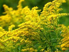 How to Grow and Care for Goldenrods - See more at: http://worldoffloweringplants.com/grow-care-goldenrods