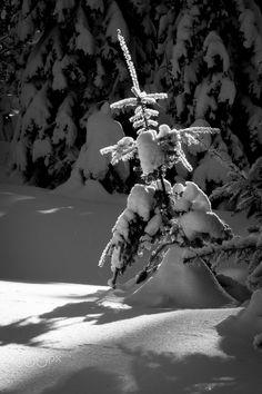 Lit - Little snowy tree lit up in the wintry Blue Mountains of NE Oregon.