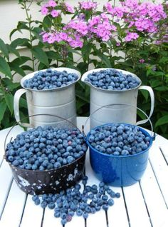 Michigan is the number one state in highbush blueberry production with growers producing over 100 million pounds of blueberries every year.