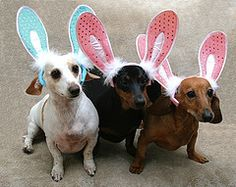 Easter dachs...