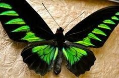 20 Beautiful Butterflies and Marvelous Moths - meowlogy Most Beautiful Butterfly, Float Like A Butterfly, Largest Butterfly, Beautiful Bugs, Most Beautiful Animals, Beautiful Creatures, Butterfly Dragon, Butterfly Wings, Butterfly Images