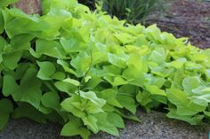 Ipomea Sweet Potato Vine.  I planted this in April of 2014 (last year!) and it came back strong this spring.  Almost other-worldly growing speed.  Chartreuse or Purple, a garden stunner when everything else is fighting in the heat.