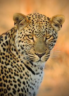 Pohlednice Levhart jihoafrický (O. Jaguar, Big Cats, Lion, Africa, Animals, Tigers, Leo, Animales, Animaux