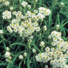Pearly Everlasting (anaphalis margaritacea) full sun perennial; attracts butterflies; deer and rabbit resistant; zone 2-9