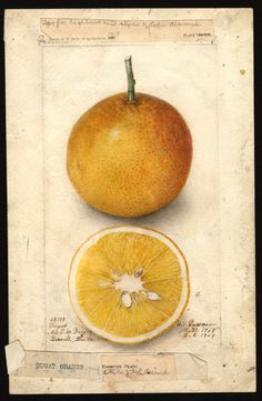 utterly breath taking. From the USDA Pomological Watercolors Artist:Passmore, Deborah Griscom, 1840-1911 Scientific name:Citrus sinensis Common name:oranges Variety:Dugat