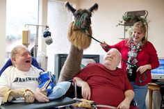 To qualify, llamas must be at least two years old, have never been bottle-fed, and undergo a battery of tests to gauge how they react to stressful situations. Only a select number of llamas have the temperament to be certified therapists