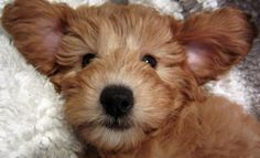 Don't get me wrong, I love rescue dogs. But you can't deny this Goldendoodle is adorable.