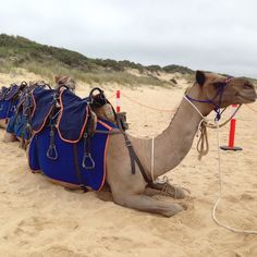 Our first walk on #LakesEntrance #EasternBeach is about to begin.  Coco Jack & Syhid are happily watching the waves roll in.  #surfbeach #lakes #eastgippy #eastgippsland #seevictoria #theplacetobe #camelride #camels #australiancamels #camelrides #cameltreks #camelsafari #beachsafari by australiancamels http://ift.tt/1JtS0vo