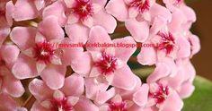 Çiçek bakımı, çiçek çeşitleri, çiçek türleri, çiçek isimleri, ev,balkon,bahçe çiçekleri hakkında bilgi veren blog Hoya Plants, Rose, Flowers, Pink, Roses