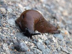 How to Get Rid of Garden Slugs- Get rid of these garden pests safely, without endangering kids or pets. Slugs In Garden, Garden Bugs, Garden Pests, Lawn And Garden, Garden Fertilizers, Organic Gardening, Gardening Tips, Gardening Courses, Getting Rid Of Slugs
