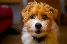 Sporting Lucas Terrier Lucas Terrier, Terrier Dogs, Jack Russell Dogs, Jack Russell Terrier, Parsons Terrier, Cute Puppies, Cute Dogs, Jack Russells, Raining Cats And Dogs