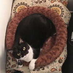 Puchi loves this warm electric bed 😊  プッチ、この電気ベッド大好き😊  #nekostagram #cat #catbed #blackwhitecat #mykittycat #にゃんこ #猫 #白黒猫 #愛猫
