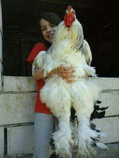 Meet the Brahma rooster, the king of all chickens! Fancy Chickens, Chickens And Roosters, Pet Chickens, Raising Chickens, Chickens Backyard, Bantam Chickens, Farm Animals, Animals And Pets, Funny Animals