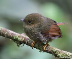 Rufous-headed Pygmy-Tyrant (Pseudotriccus ruficeps)  juvenile