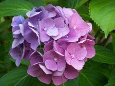 Maryland flowers