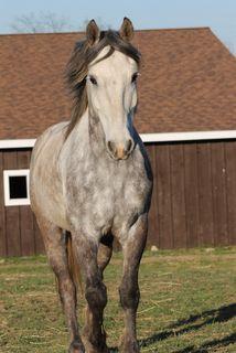 Nokota Horses For Sale Catalog