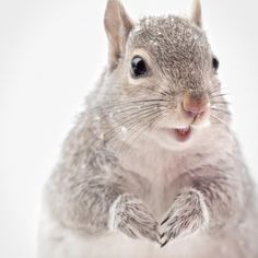 "Fine Art Squirrel Photo Print ""Grey Squirrel in Snow"" from Rocky Top Studio"