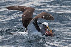 Buller's albatross at the Doubtful Sound in New Zealand. More photos on my website: http://www.xflo.net/en/?p=1796