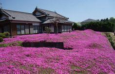 In Giappone il giardino fiorito più romantico al mondo [GALLERY] - Meteo Web