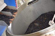 After sorting the grapes are take off the stems.