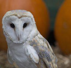Barn Owl by LVnative, via Flickr