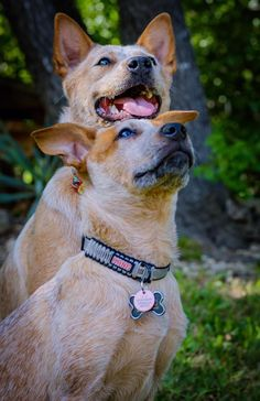 Animals And Pets, Cute Animals, Cattle Dogs, Two's Company, Dog Rules, Australian Cattle Dog, Corgis, Mans Best Friend, Kitten