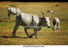 Cows in Tuscany