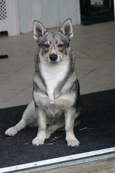 swedish vallhund a.k.a your own mini wolf.