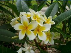Plumeria flowers - research for Hawaiian quilt
