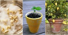 How To Grow A Lemon Tree From Seed ? With simple steps we will show you how to grow lemon trees from the lemon seed. how to germinating lemon seeds how to . Citrus Trees, Fruit Trees, Citrus Fruits, Container Gardening, Gardening Tips, Lemon Tree From Seed, Lemon Plant From Seeds, Planting Lemon Seeds, How To Grow Lemon